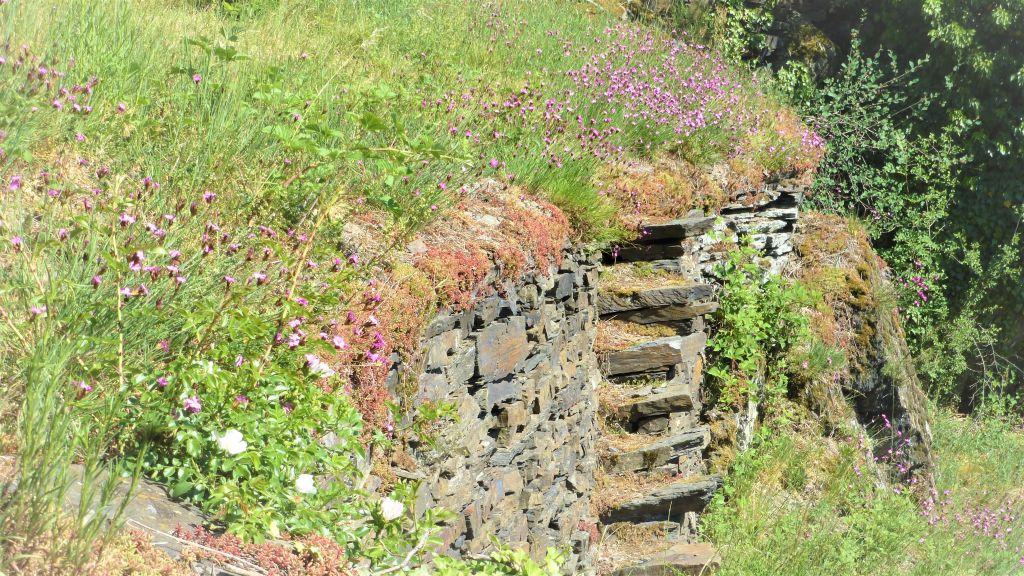 Bunte Kuh, Karthäuser Nelke, Trockenmauer