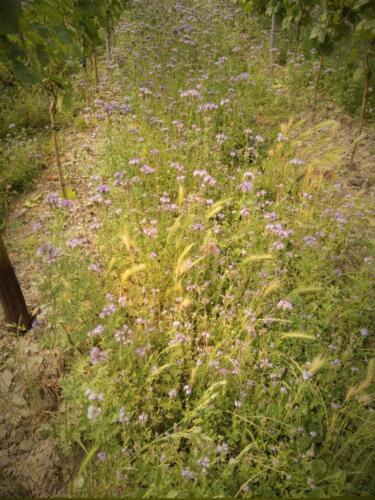 Blühstreifen im Weinberg